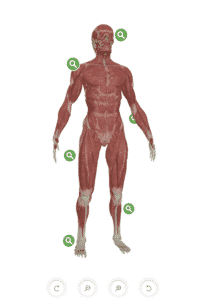 3D map of the human body. Skin can be toggled on or off, for use of healthcare practitioners
